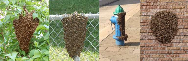 swarms of honeybees in different locations